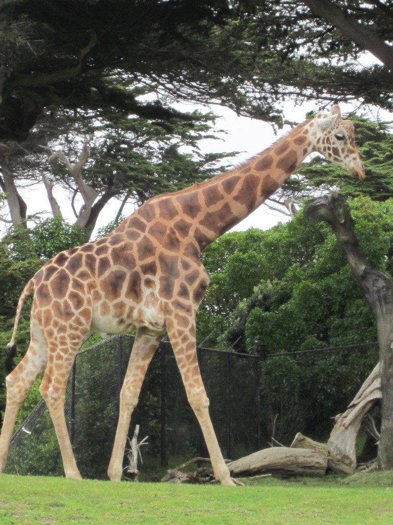 Reticulated_Giraffe_at_SF_Zoo_11